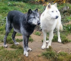 The Gray wolf can vary in color
