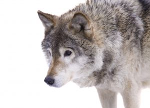 Closeup of the gray wolf