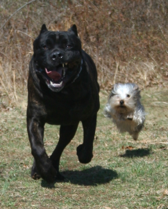 An Italian Mastiff (left) And A Yorkshire Terrier (right): History of wolves and dogs