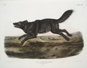 Florida Black Wolf: Extinct wolf species