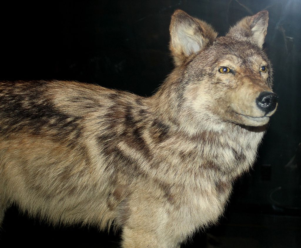 Stuffed Specimen of the Newfoundland Wolf: Extinct wolf species