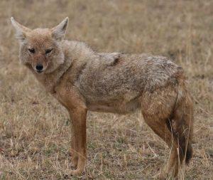 Tanzanian African Golden wolf