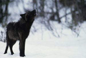 A Black Wolf: 10 Facts about wolves