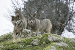 Wolves in the Iberian Peninsula