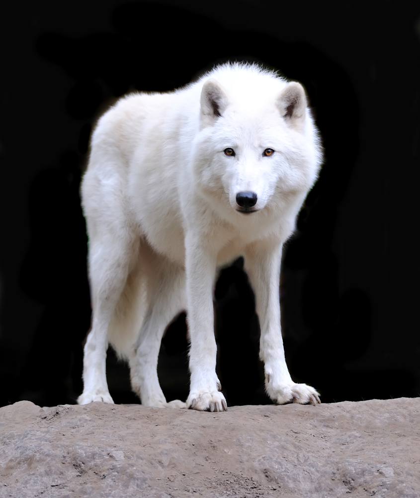 White wolf: Places to See Wolves In the wild