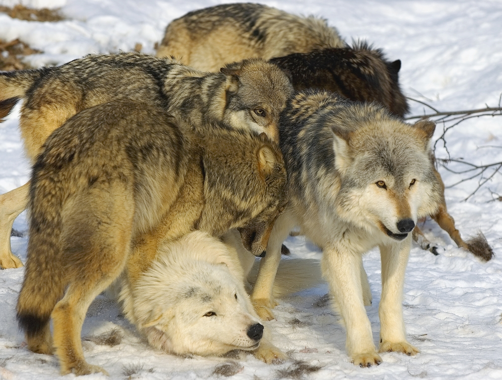 A Typical Wolf Pack