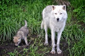 Adult Wolf And Pup