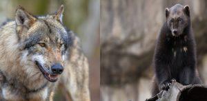 wolves versus wolverines