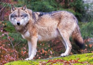 Eurasian Wolf Specimen In Bavaria, Germany: Russian Wolves