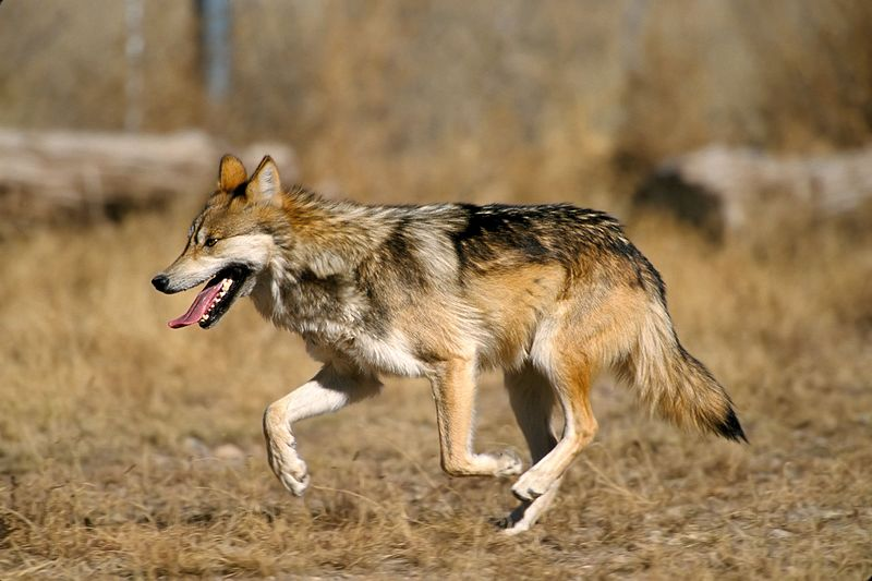 A Mexican Wolf in the captive breeding enclosure