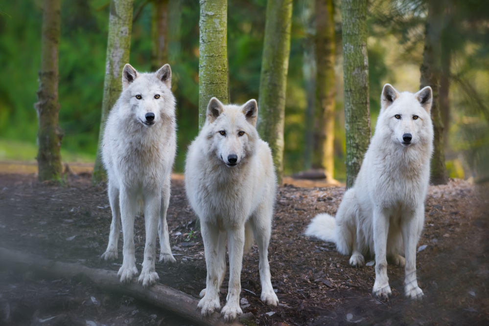 An Arctic Wolf Pack