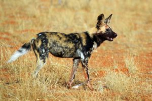 African Wild Dog : Same family as wolves