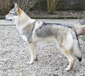 Czechoslovakian Wolfdog: Keeping Wolfdogs