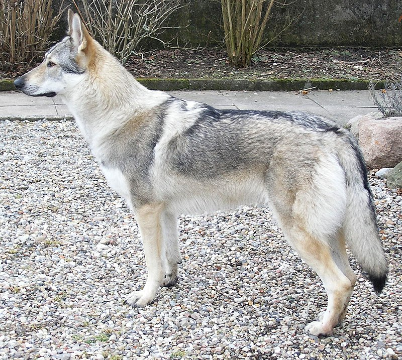 Czechoslovakian Wolfdog: Keeping Wolfdogs