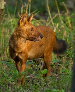 A Dhole In The Wild ; Same family as wolves