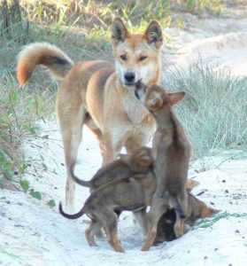 Male dingo with pups