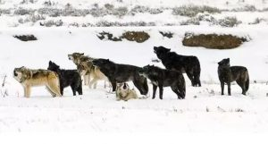 Members of the Yellowstone Druid Pack Back In The Day