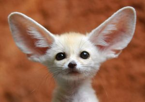 Fennec Fox: Same family as wolves