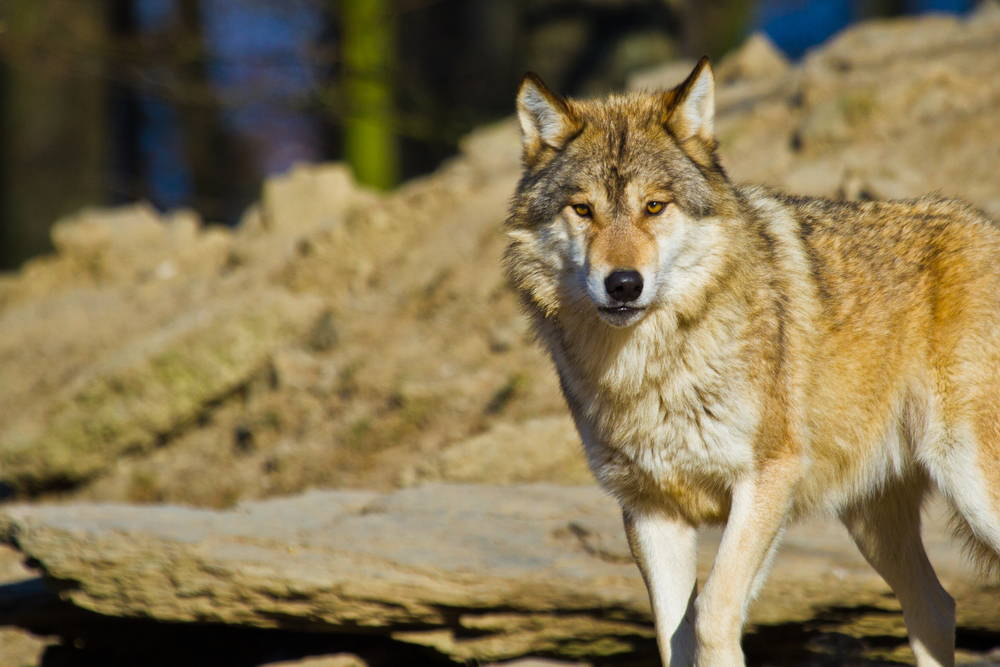 A Gray Wolf; Living with wolves
