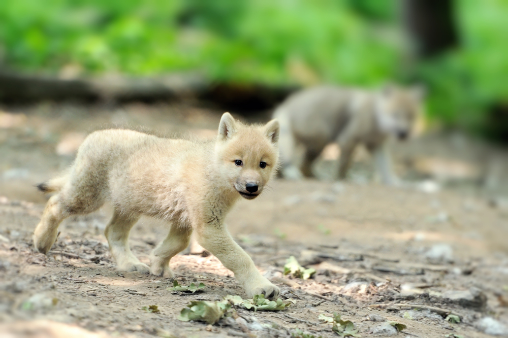 A Wolf Cub: Keeping A Pet Wolf