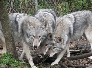 A Pack Of Coyote-Wolf Hybrids