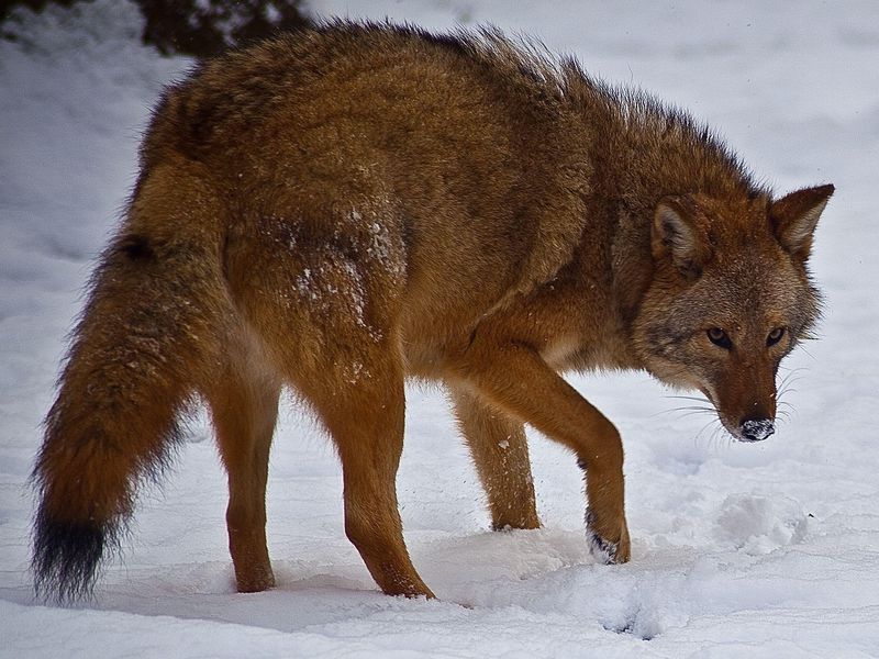 A Hybrid In Virginia: Coyote-Wolf Hybrids