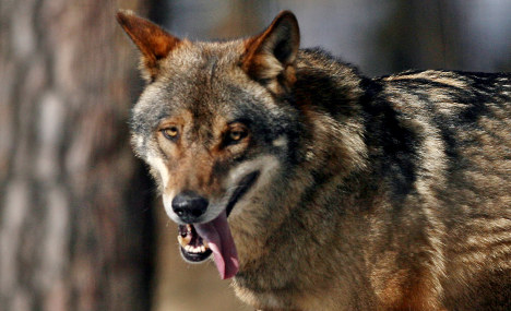 A Wolf In Saxony ; German wolves