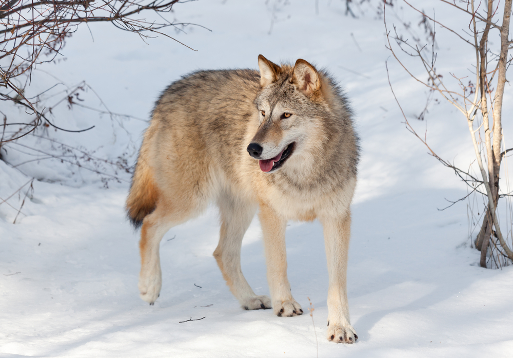 A Wolf In Winter: Wolves return to Denmark