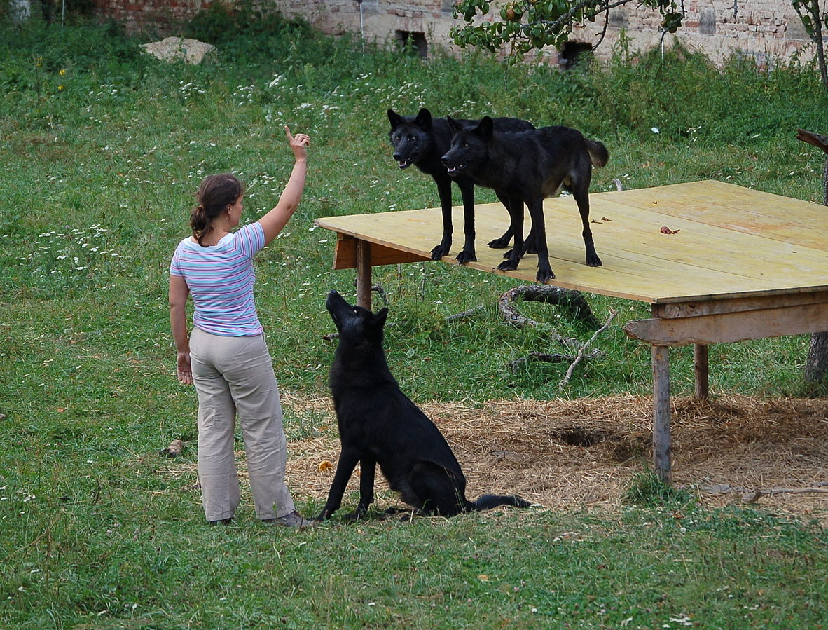 Wolf Training At Wolf Science Center, Ernstbrunn, Lower Austria: domesticating wolves