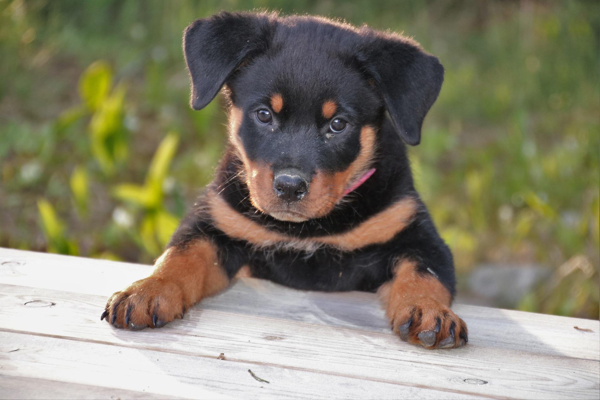 Rottweiler puppy : Wolves