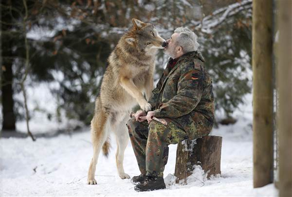 Mongolian wolf Heiko licks the mouth of wolf researcher Werner Freund