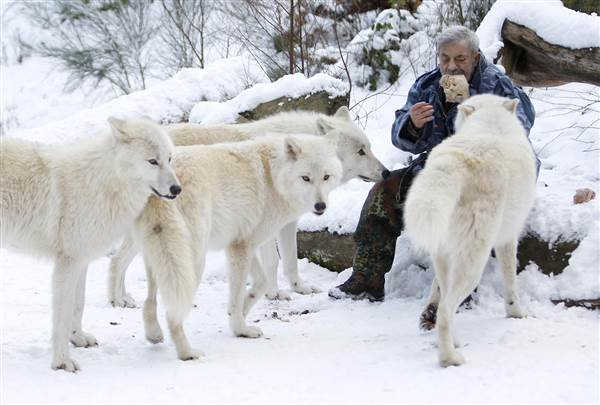 Werner Freund Feeds a pack of Arctic Wolves